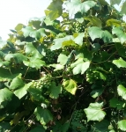 preharvest-concord-grapes
