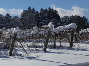 winter vines