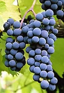 Foch, Frontenac and the Other Red Wine Grapes