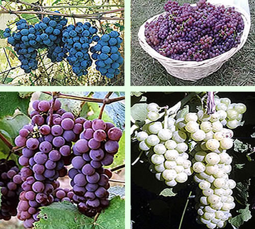 U-Pick grapes for wine jelly and juice