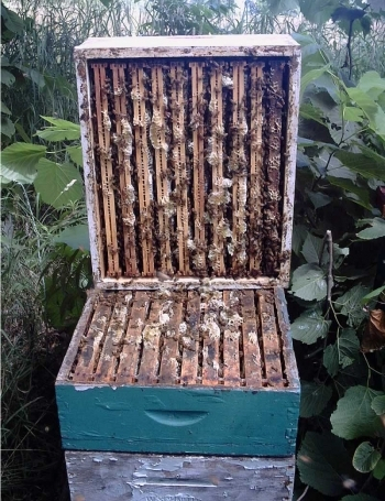 comb honey harvest