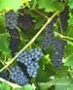 baco noir grape