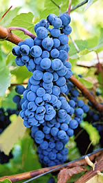 Baco Noir red wine grape