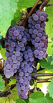 canadice red seedless grapes