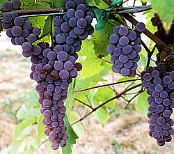 canadice red seedless table grapes