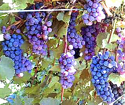 Dechaunac red wine grapes