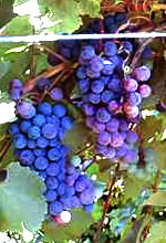 Dechaunac red wine grape