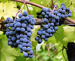 marechal foch - A Blue-Black Wine Grape