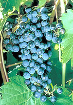 Frontenac red wine grape