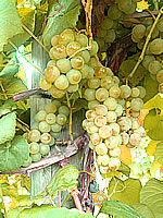 horizon white wine grape