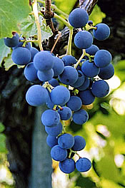 New York Muscat Grape