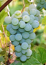 niagara white wine grape