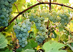 niagara wine and jelly grapes