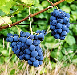 price - A Blue-Black Wine or Jelly Grape