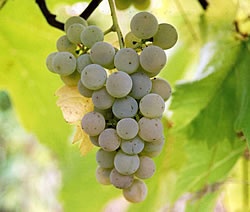 seyval blanc white wine grapes