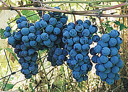steuben - A Blue-Black Wine or Jelly Grape