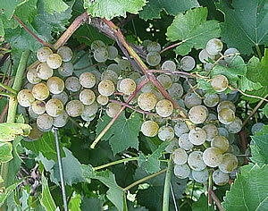 st pepin white wine grape