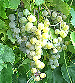 st. pepin white wine grape