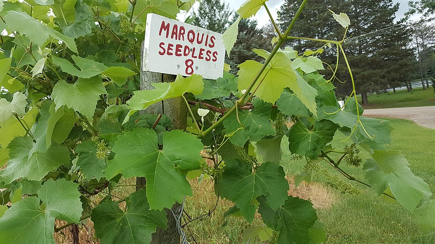 Bloom Time in the Vineyard