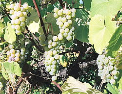Cayuga white wine grape
