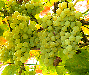 lakemont white seedless table grapes