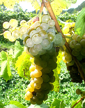 vignoles white wine grape